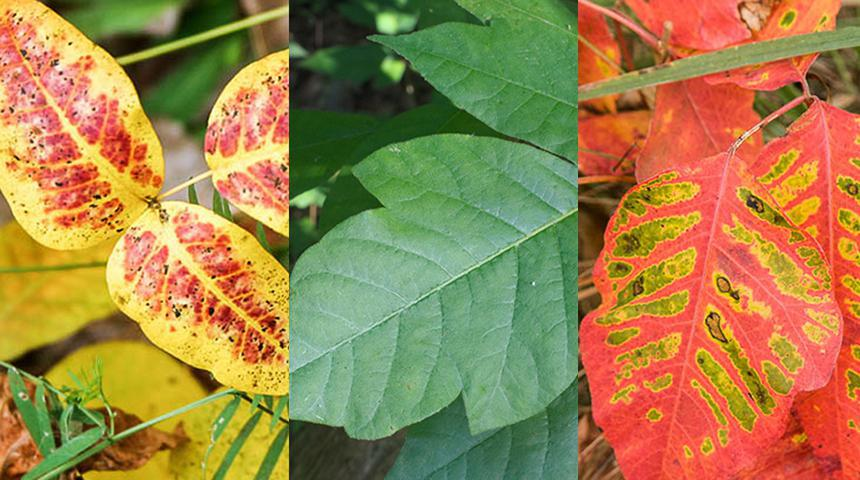 What You Need To Know About Poison Ivy Poison Oak And Poison